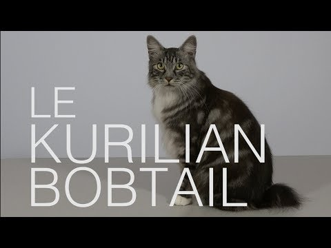 Tutocat - Le Kurilian Bobtail