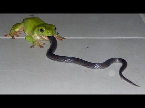 frog vs snake vs cat in Buldhana