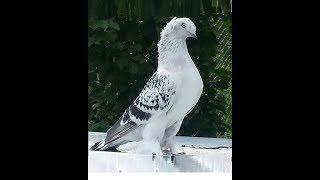 Gambar cover Kuş Pazarı Kostüm Oyun Kuşları Taklacı Güvercinler