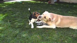Beagle + Labrador: A True Story Of Unconditional Love