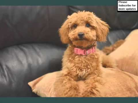 Miniature Poodle Dogs | Dog Breed Miniature Poodle Picture Collection Ideas