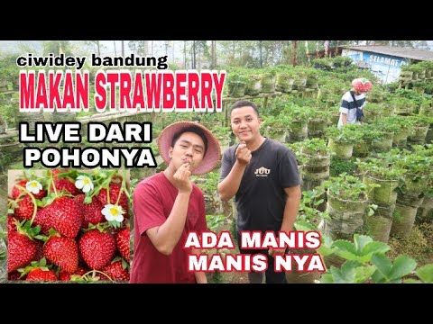 berburu-strawberry-termanis-di-ciwidey-bandung-#iyvlog