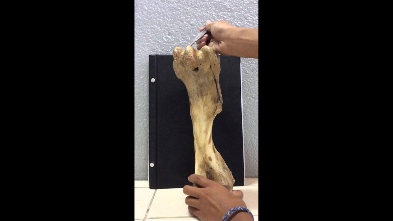 Anatomía Humero Equino - YouTube