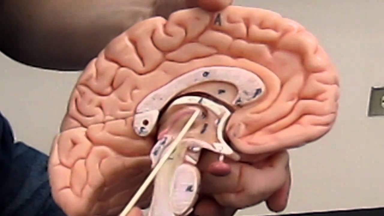 Diencephalon and Brain Stem: Unit 4, Group 3 - YouTube