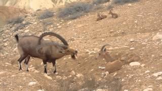 Любовные игры горных козлов пустыни Негев
