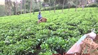 Black Tea Fields, Limuru, Nairobi, Republic of KENYA.