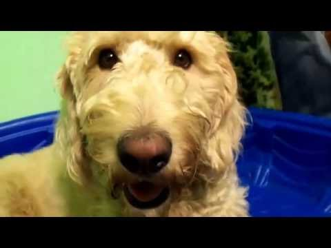 From Affordable Designer Dogs to Lovable Labradoodles!!
