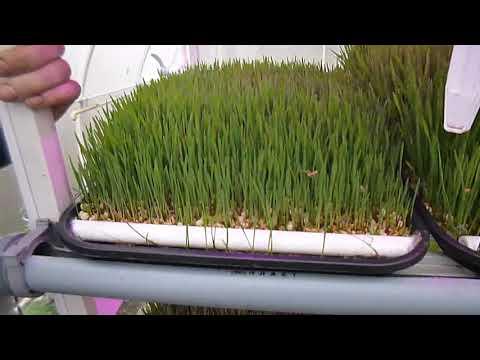 Выращивание гзк в домашних условиях