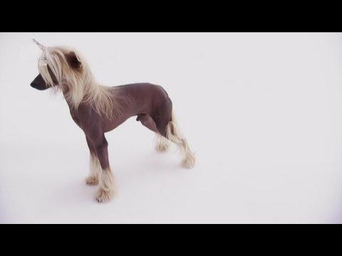 Китайская хохлатая собака, фотографии Китайской хохлатой