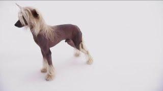 Смотреть видео Китайський хохлатий собака