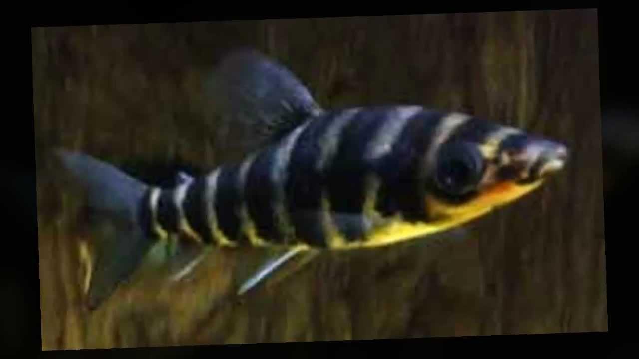 Leporinus, Leporinus fasciatus colorful tropical fish pictures