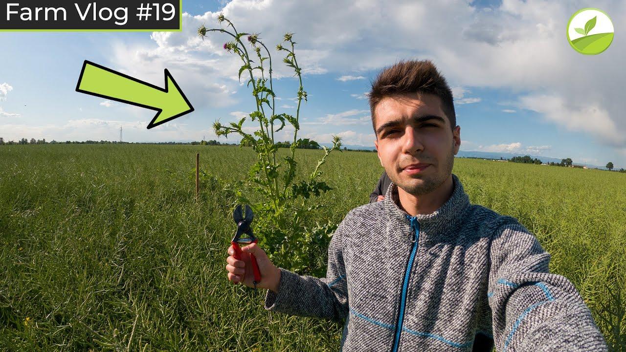 Farm Vlog #19 - A MANO NEL COLZA PER ELIMINARE IL CARDO MARIANO! 🥵
