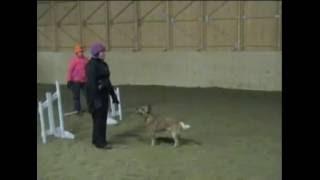 Australian Cattle Dog Malla Agility Training 23.2