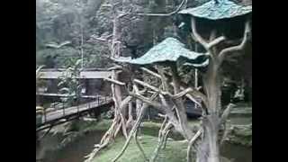 siamang  dan orangutan di taman safari bogor