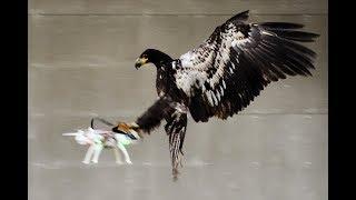 Bird vs Drone. DJI Phantom VS Eagles. Compilation!