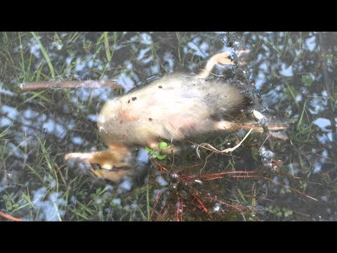 Common causes of death in duck farming