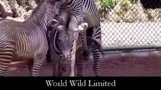 Funny and Best Animals Mating Zebra Compilation 2016 New
