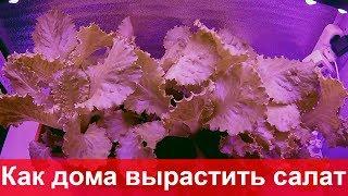 Выращивание салата зимой под светодиодными фитолампами в домашних условиях