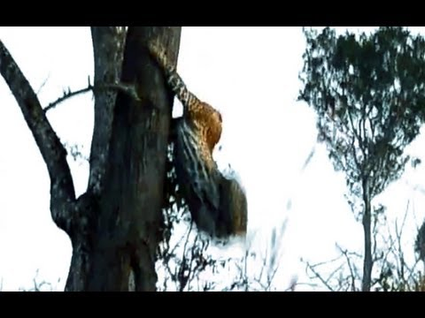 Leopard & Wild Dog Clash - Latest Sightings