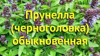 Прунелла обыкновенная. Краткий обзор, описание характеристик, где купить саженцы prunella vulgáris