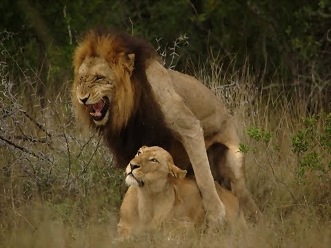 Download Lions Mating in full view