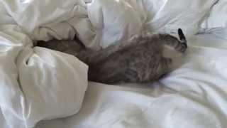 Bengal Miabi plays hide & seek