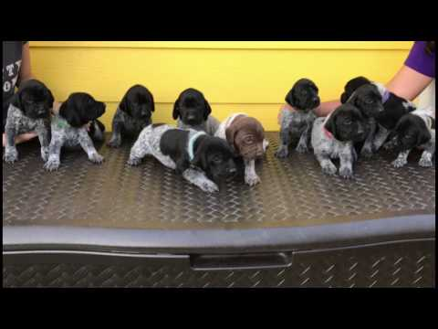 German Shorthaired Pointer (GSP) *SOLD*