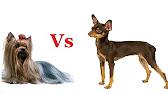 Собаки и щенки породы йоркширский терьер минск. На доске объявлений olx легко и быстро можно купить щенка йоркширского терьера. Заведи друга прямо сейчас!