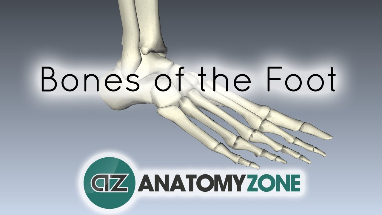 Bones of the Foot - Anatomy Tutorial - YouTube