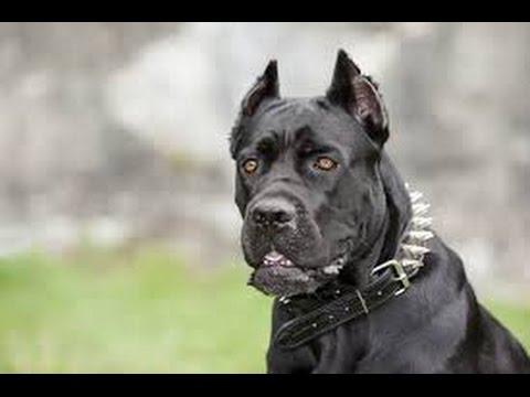 million dollars dog cane corso funny dog youtube