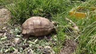 Texas desert tortoise