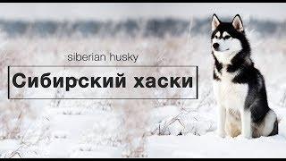 СИБИРСКИЙ ХАСКИ. Ездовая собака из холодных краев.