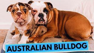 Australian Bulldog  TOP 10 Interesting Facts