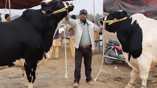 Beautiful Australian Friesian Bull Jorri For Sale in Cow Mandi 2019 in Lahore Bakra Mandi