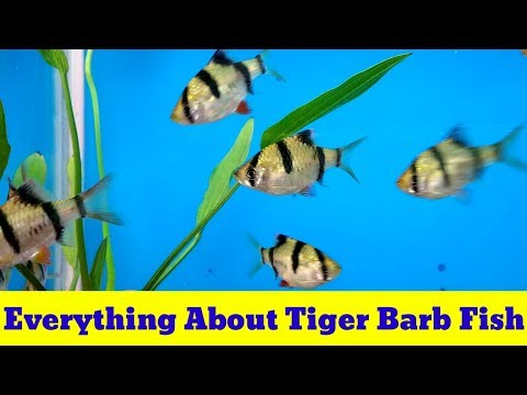 Everything About Tiger Barb Fish