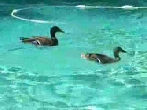 Ducks in my swimming pool youtube for Keep ducks out of swimming pool
