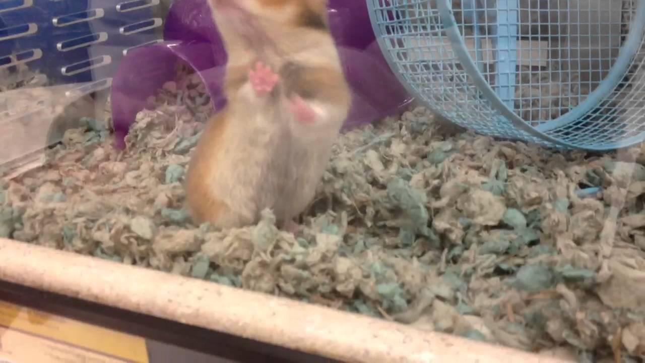 Cute Teddy Bear Hamster At Petco