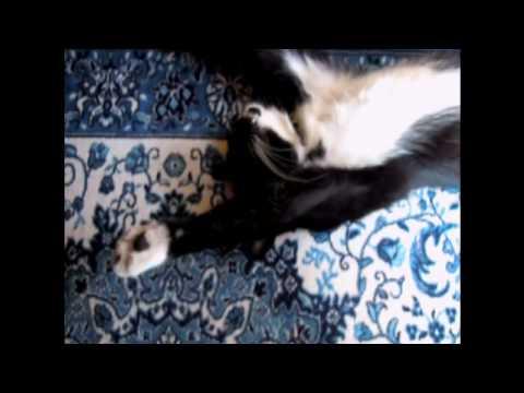 オモシロ動画■寝言を言う一本猫・しゃべるネコTuxedocat that talks in sleep