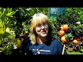 Potting Orange, Lemon & Citrus Plants