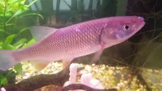 kleń w akwarium rybki akwariowe hodowla StarTV