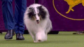 'Conrad' the Shetland sheepdog wins Herding Group at 2020 Westminster Dog Show