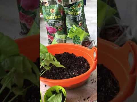 Вопрос: Какой состав грунта для выращивания ароидных растений?
