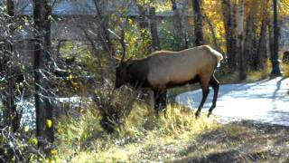 Bull Elk Pissing in Estes Park