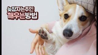 강아지가 늦잠자는 주인을 깨우는 방법???? 천재견 아리