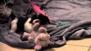 Shih Tzu Bichon Puppy Playing Near Minnesota