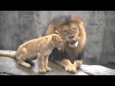 UN LION RENCONTRE POUR LA PREMIÈRE FOIS SA PROGÉNITURE