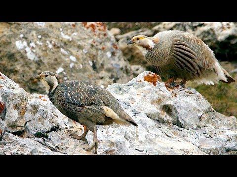 Кавказский улар (Tetraogallus Caucasicus) | Film Studio Aves
