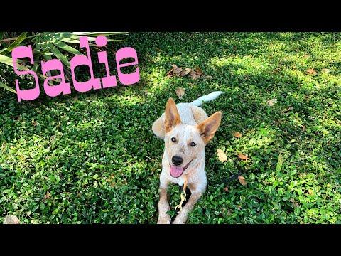 6 mo Australian Cattle Dog (Red Heeler) Sadie