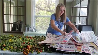 How to Ripen GRËEN Tomatoes with NEWSPAPER in 6 days   vlog