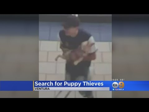 Search Is On For Puppy Bandits Caught On...